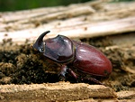 Rhinoceros Beetle (Oryctes nasicornis)
